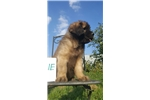 Picture of Yemina- Female Leonberger Puppy for Sale