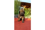 Picture of Zara- Female Leonberger Puppy for Sale