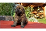 Picture of Zoro- Leonberger Puppy for Sale