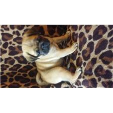 View full profile for Kari's Pugs
