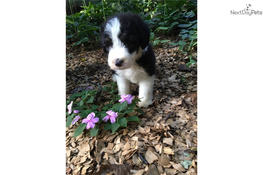 Sheepadoodle puppy for sale near Atlanta, Georgia | 00efa2d1