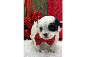 Oliver - Shih-Poo - Shihpoo for sale