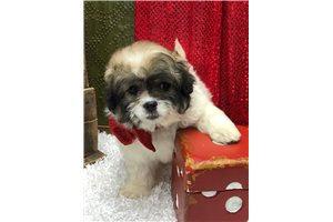 Oreo - Shih-Poo - Shihpoo for sale