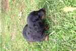 Picture of Black and Tan Silky Boy #1