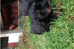 Picture of Black and Tan Silky Boy #2