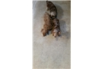 Picture of wild boar soft wirehair male