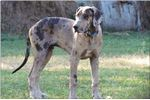 Picture of Blue Blanketed Harlequin Female %Euro