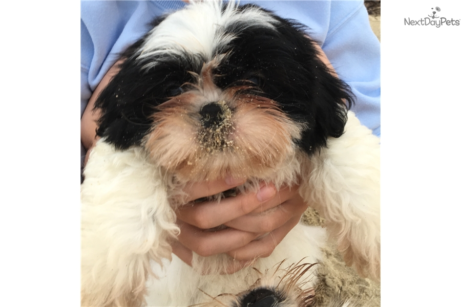 Dudley Shih Tzu Puppy For Sale Near Worcester Central Ma