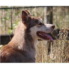 View full profile for Abundant Hope Alaskan Malamutes