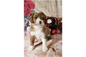 Featured Breeder of Mini Goldendoodles with Puppies For Sale
