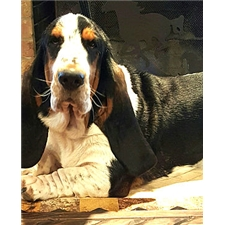 View full profile for Texas Select Basset Hounds
