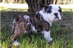 Picture of LOUIE-AKC ENGLISH BULLDOG- $2,000