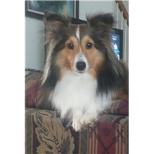 View full profile for Sheltiepuppies