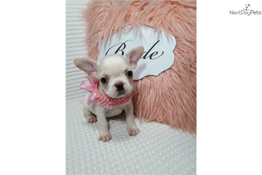 Female4: French Bulldog puppy for sale near Boston