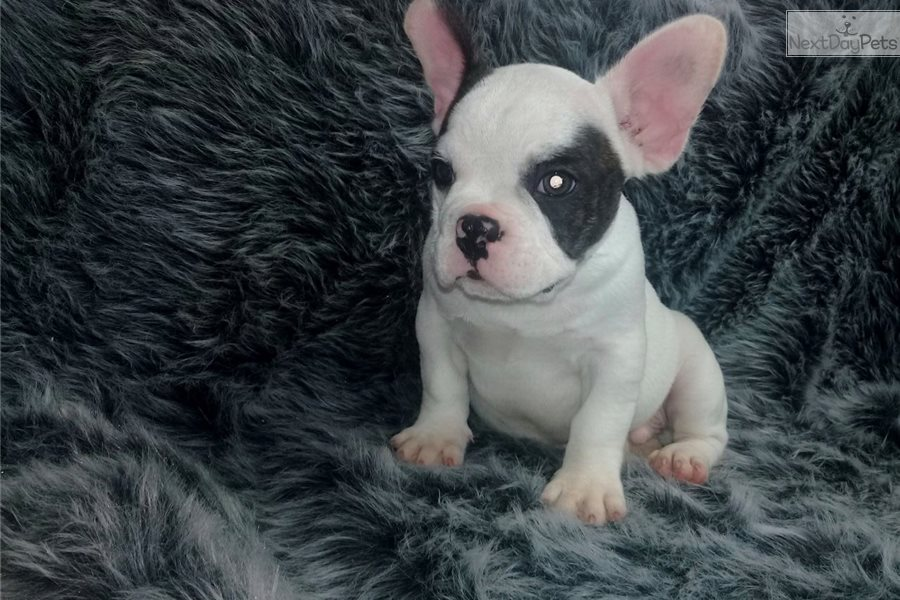 French Bulldog Puppy For Sale Near New Haven Connecticut 09710d6b