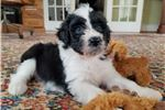 Picture of Munchkin - Female Black and White Aussiedoodle