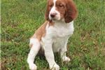 Picture of AKC Champion Bloodlines Brittany Puppies