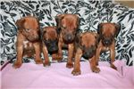 Picture of AKC Ridgeback Girls
