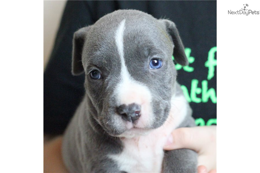 American Pit Bull Terrier puppy for sale near Dallas / Fort