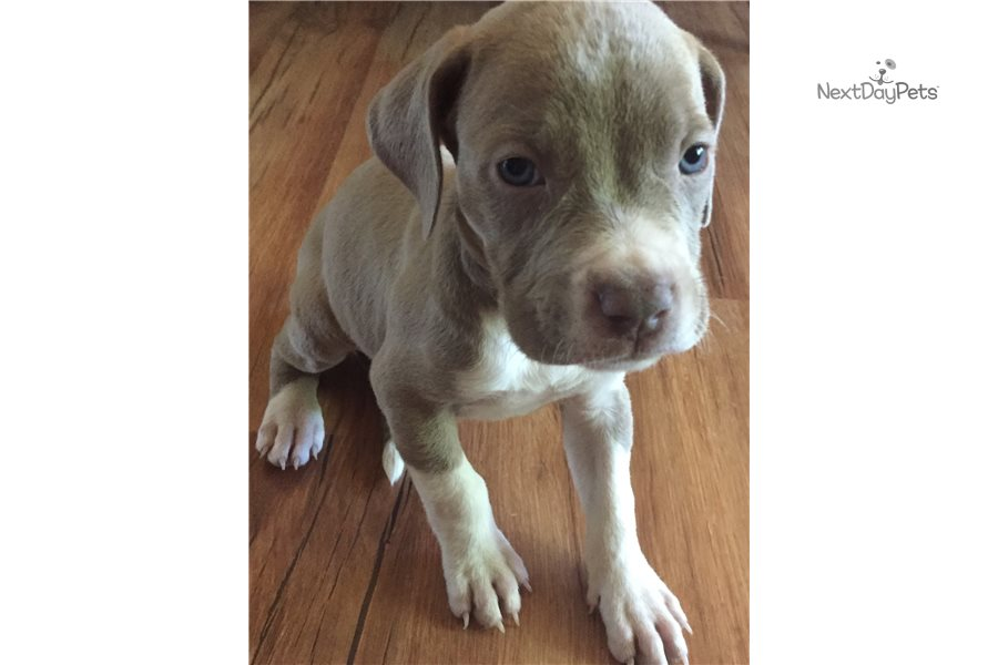 Titus: American Pit Bull Terrier puppy for sale near ...