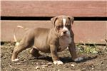 Picture of euro import choclate tri olde pups