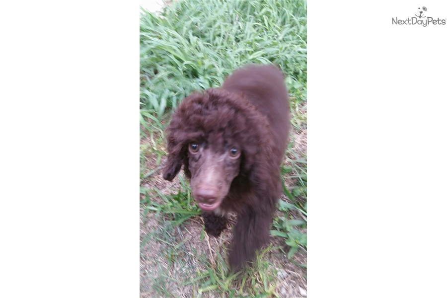 Chocolate Male Poodle Miniature Puppy For Sale Near Austin
