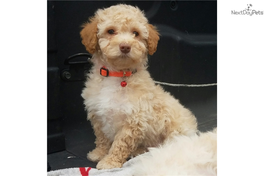 Red Poodle Miniature Puppy For Sale Near Austin Texas