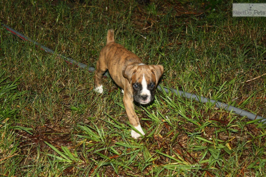 Axle Boxer Puppy For Sale Near Panama City Florida 1a00c246 2201