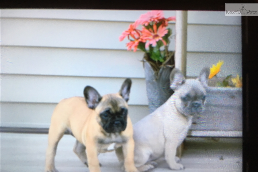 french bulldog for sale mn ckc tally female french bulldog for sale in saint cloud 1925