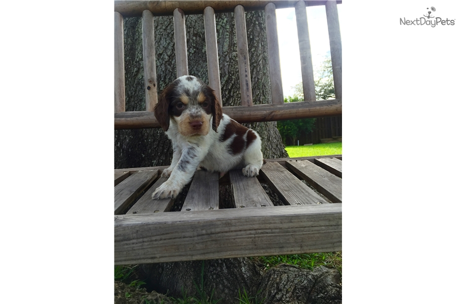 Aslan: English Springer Spaniel puppy for sale near South Florida