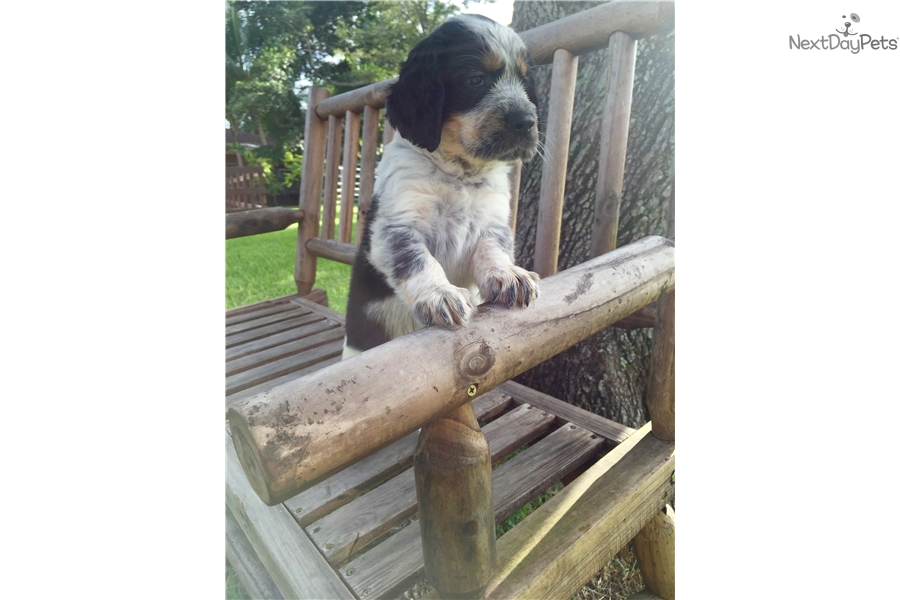 Ash: English Springer Spaniel puppy for sale near South Florida