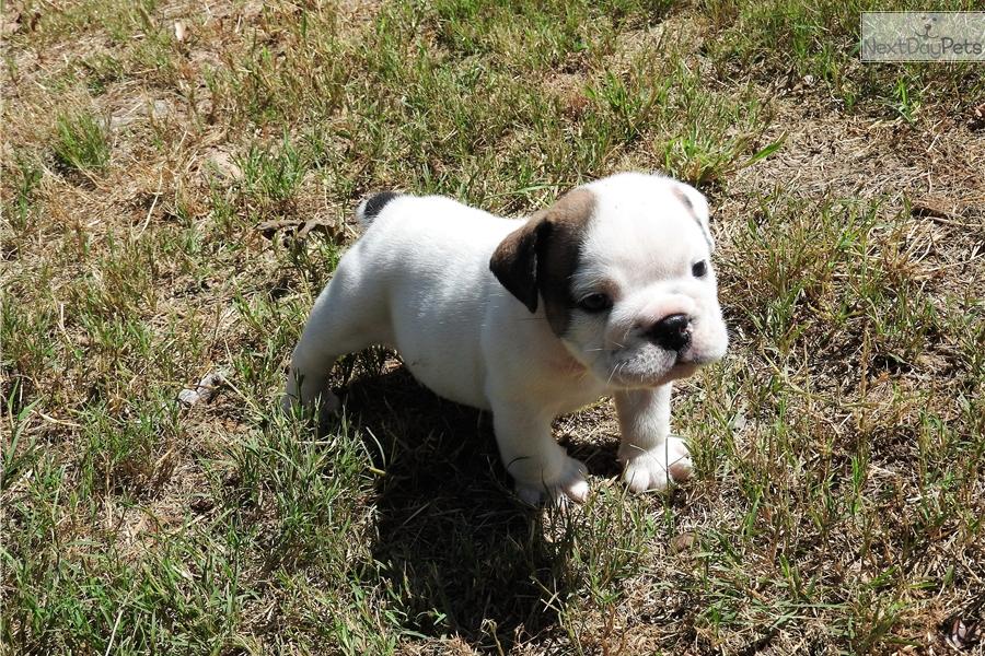 Jethro English Bulldog Puppy For Sale Near Houston Texas