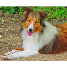 View full profile for Homeraised Shelties