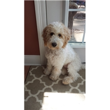 View full profile for Labradoodles Lamour