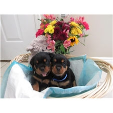 View full profile for Adams German Rotweiler Pups