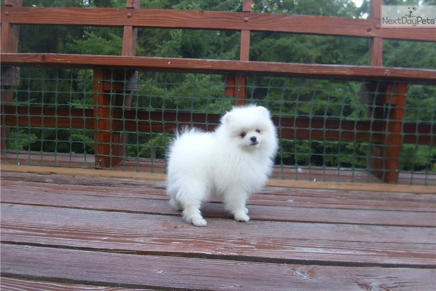 Ransom Pomeranian Puppy For Sale Near Portland Oregon 3b946b5f Af41