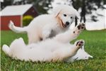 Picture of Gabriel A Male Maremma Sheepdog Puppy