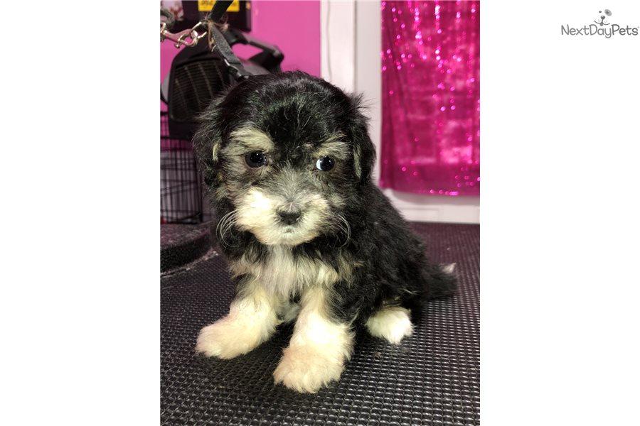 Cinder Cavachon Puppy For Sale Near Cincinnati Ohio 3a22edda 64e1