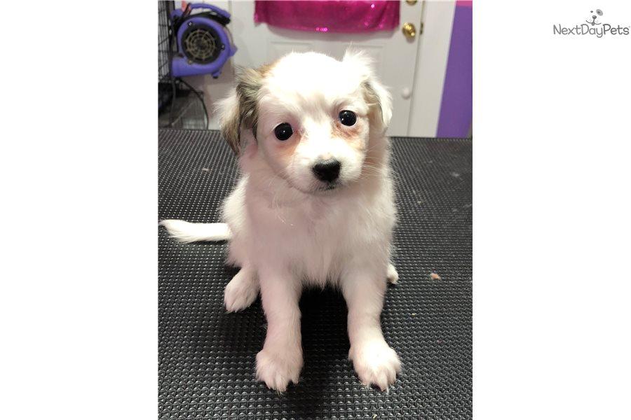 Cookie Cavachon Puppy For Sale Near Cincinnati Ohio 2dbcab84 Fd71