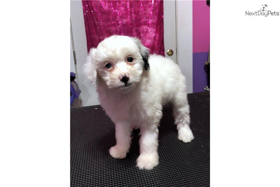 Crystal Cavachon Puppy For Sale Near Cincinnati Ohio 3bd7f363 3561
