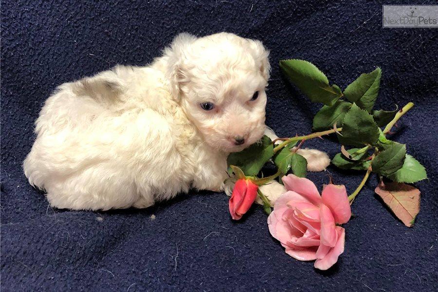 Merle Wblue Eyes Havapoo Puppy For Sale Near Cincinnati Ohio