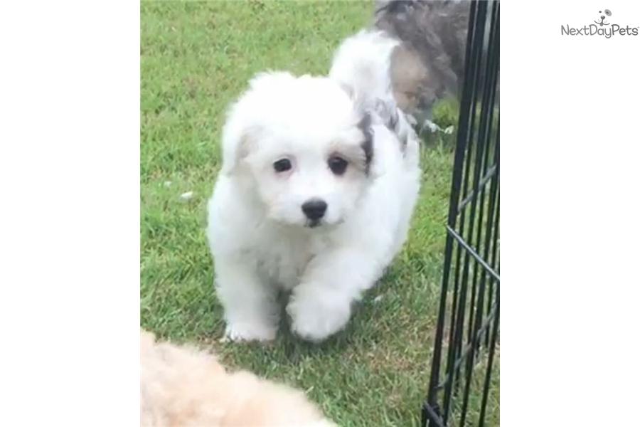 Buttons Havapoo Puppy For Sale Near Cincinnati Ohio 5f02979a 6101