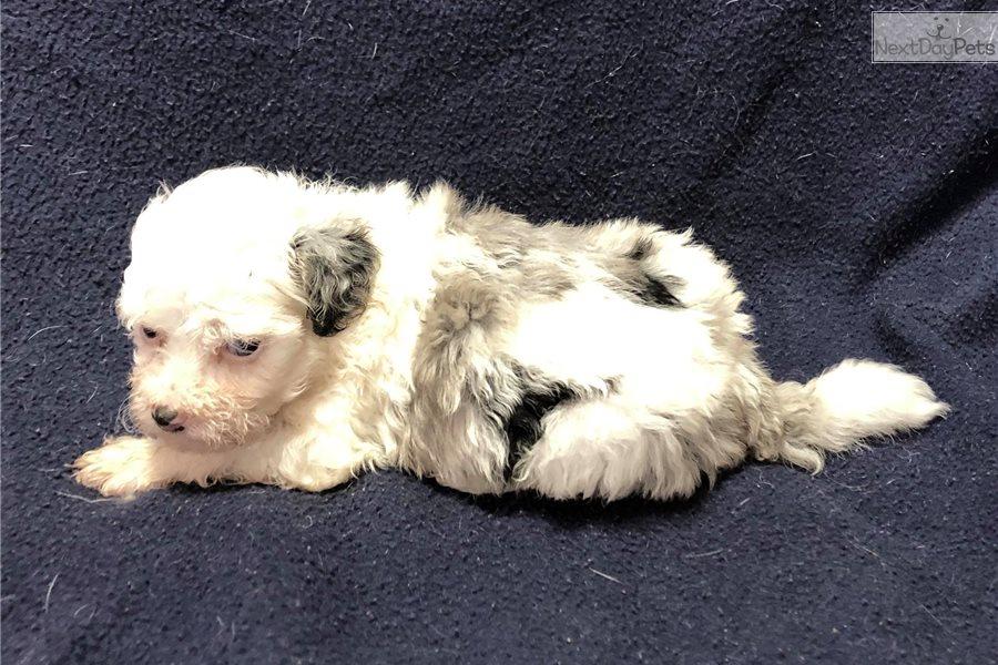 Blue Eyedblue Merle Havapoo Puppy For Sale Near Cincinnati Ohio