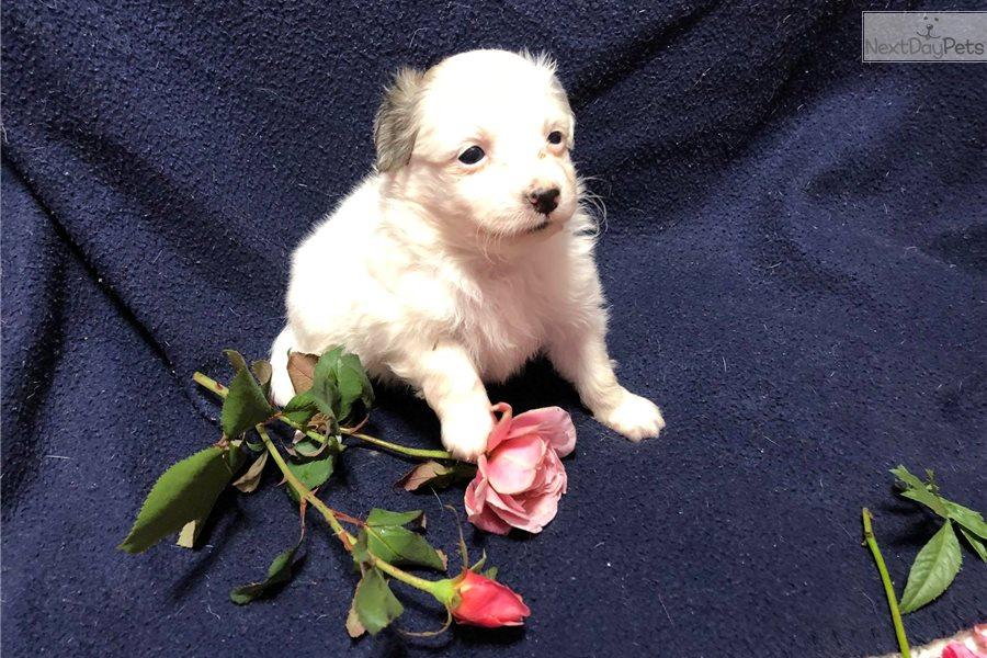 Cookie Sable Piebald Havapoo Puppy For Sale Near Cincinnati Ohio