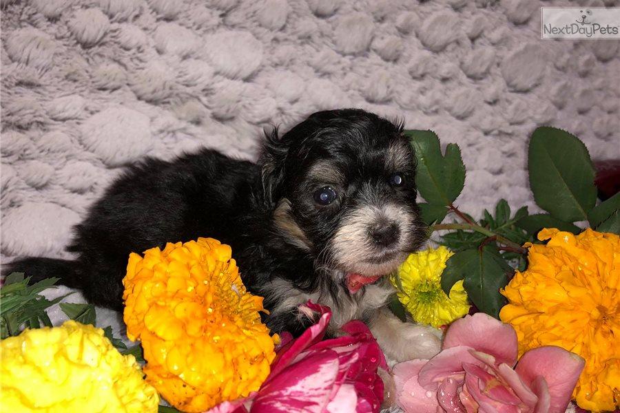 Cinder Blacktan Havapoo Puppy For Sale Near Cincinnati Ohio
