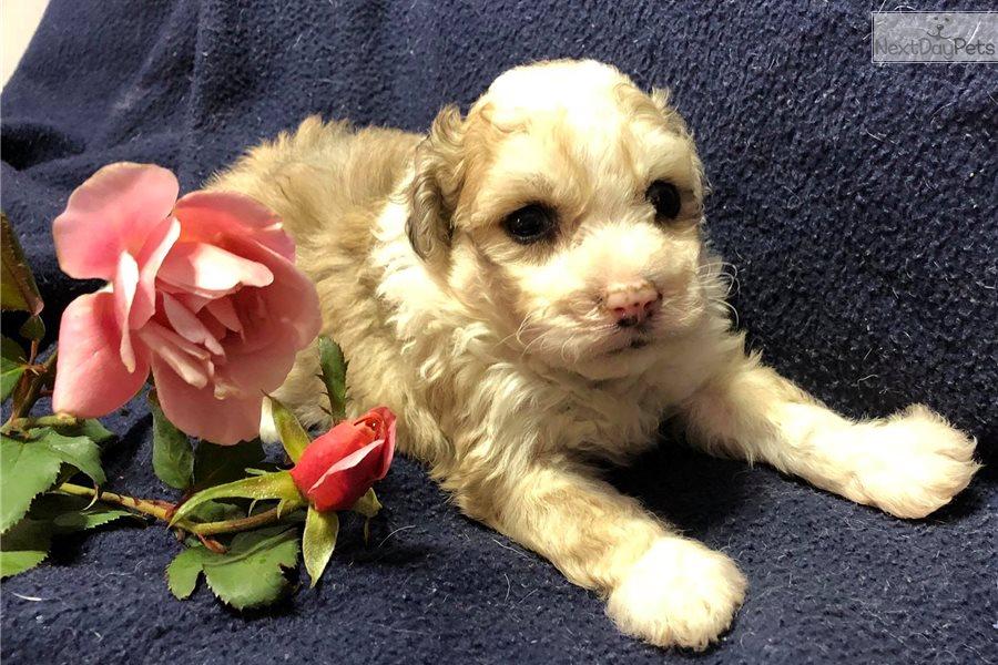 Merle Blue Eyes Havapoo Puppy For Sale Near Cincinnati Ohio