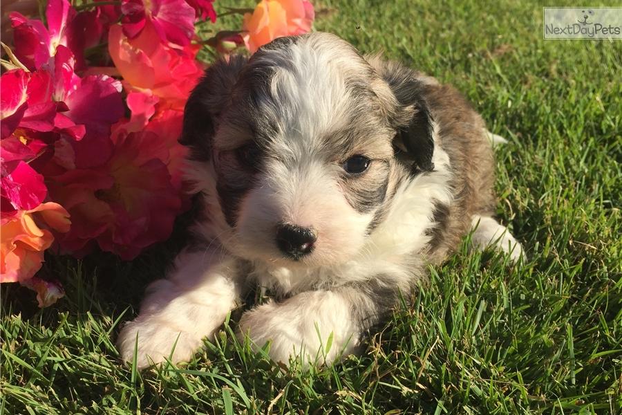 Brownie Havapoo Puppy For Sale Near Cincinnati Ohio F22e62a7 8651