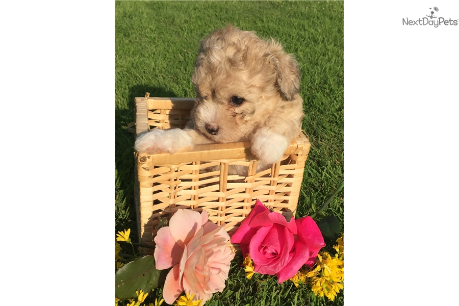 Mocha Havapoo Puppy For Sale Near Cincinnati Ohio 95769d0e 6771