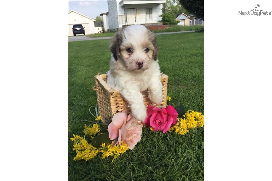 Miss Kitty Havapoo Puppy For Sale Near Cincinnati Ohio 1c10ff29 6c61
