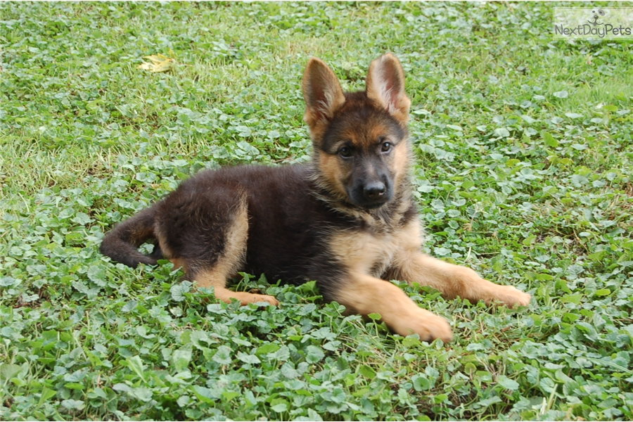 German Shepherd Puppy For Sale Near Chicago Illinois Fc106780 4c01